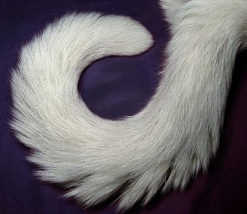 A photo of a cat's tail, naturally lying in a spiral.